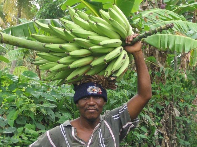 Farmer with plantain bananas