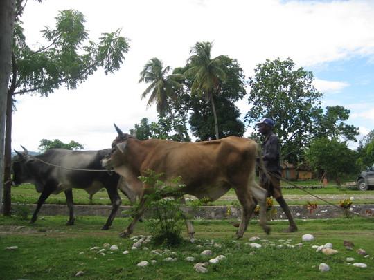 Oxen ready to plow fields