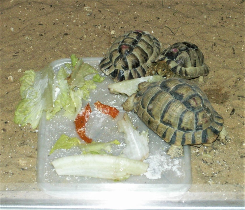 Cute desert tortoises enjoying a meal