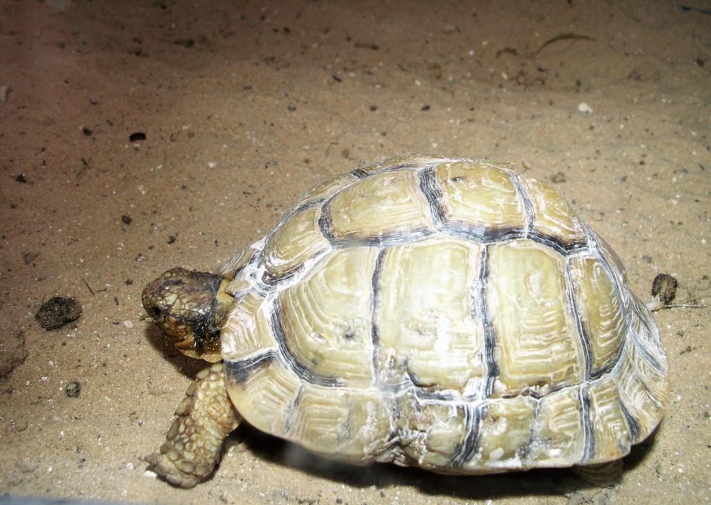 A fully grown, yet tiny, desert tortoise
