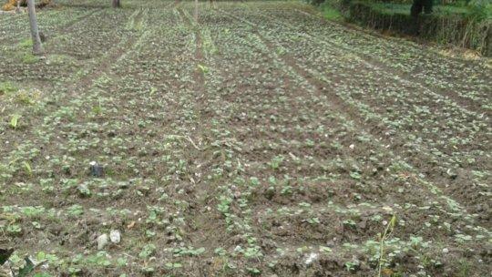 Beans garden of CPP