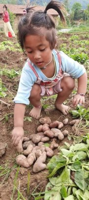 Ganga helps with potato harvest