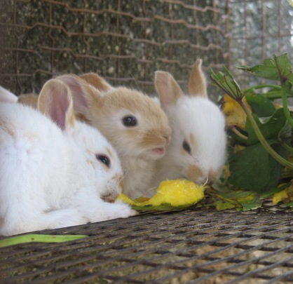 Baby rabbits in Haiti