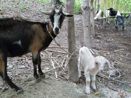 Adult and young goats