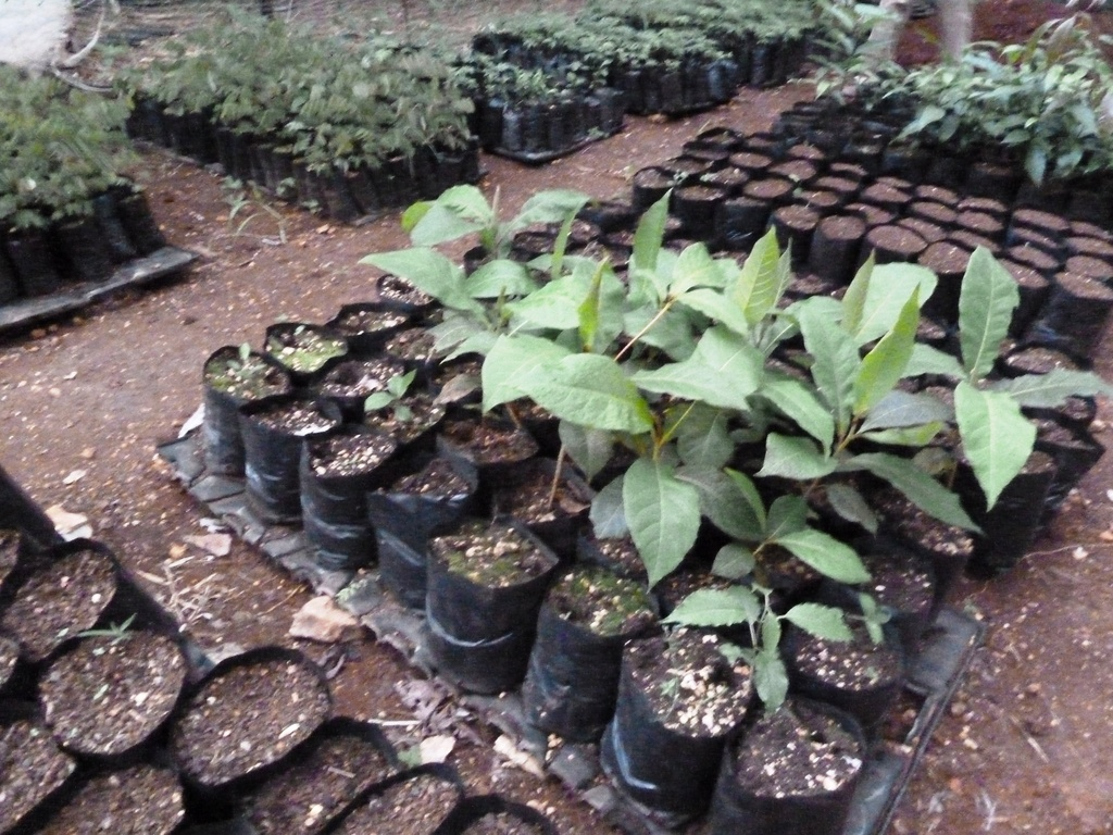Seedlings such as coffee, almond, and mango