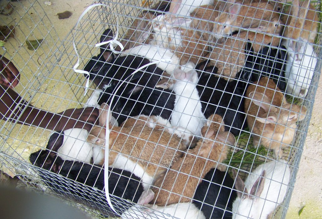 Rabbits being transported to market
