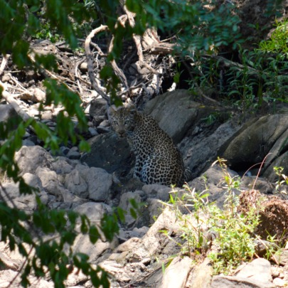 Leopard spotted at Makalali!