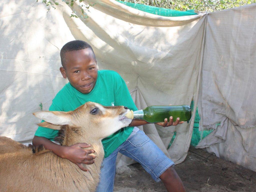 child feeding Sable Antelope