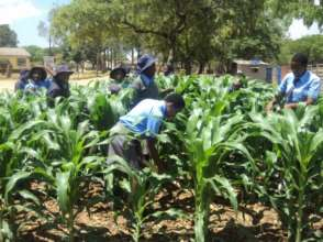 Healthy looking maize plants grown by pupils