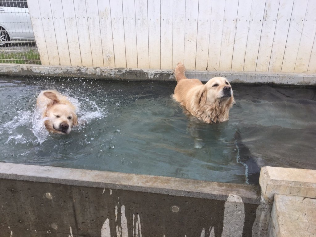 Dogs enjoy swimming