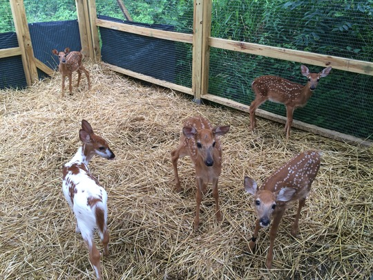 Five of the fawns currently in care