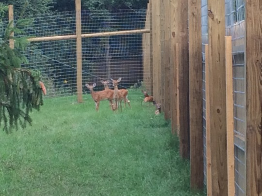 Weeks later, the fawns are wary