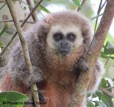 Forests for the most endangered primate in Peru