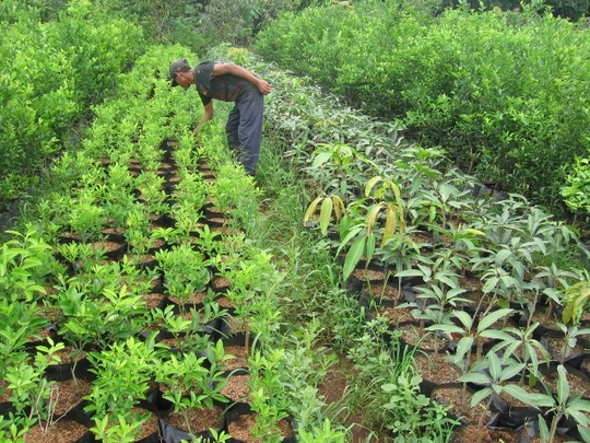 Trees cultivation in Bogor