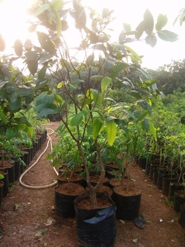 Trees Cultivation to lessen impact Global Warming