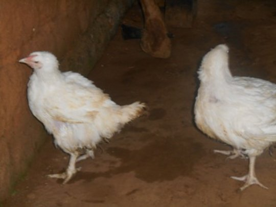 fowls almost ready for sell
