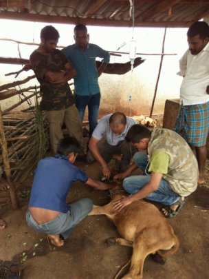 Cattle being treated