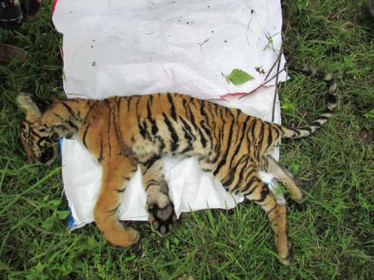 Carcass of a young tiger
