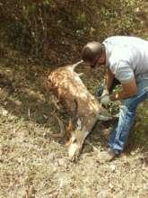 MVS-Bandipur Vet attending to spotted -deer