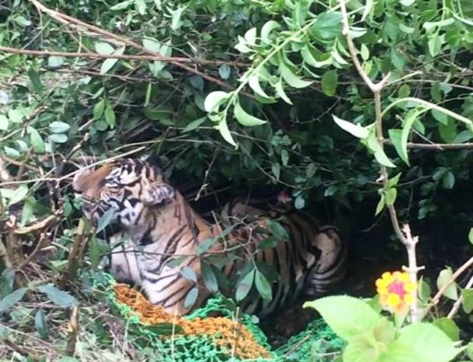 Tiger surrounded by villagers