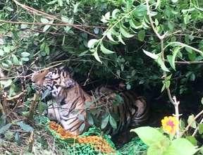 Injured Tiger in Bandipur