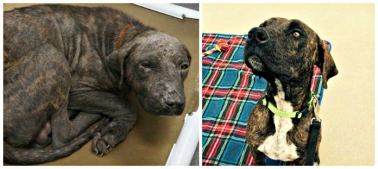 Dallas was emaciated and had severe mange