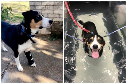 Therapy and a brace are helping Diesel walk again