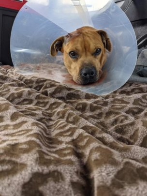 Pixie arrived in rescue with multiple injuries