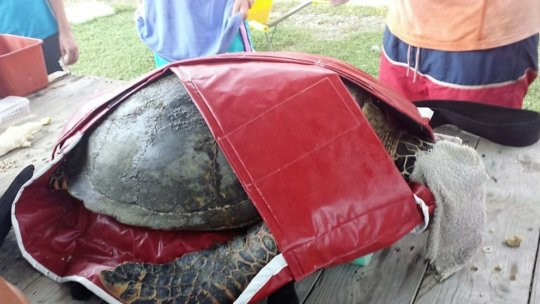 Donated turtle holder for a save transport