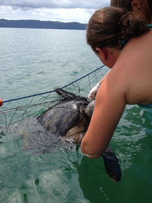 Capturing a sea turtle for tagging
