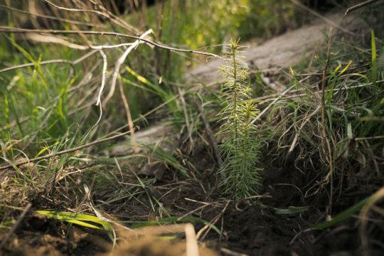Douglas fir seedling on Jemez tribal lands