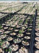 One week old pine trees for Pine Ridge