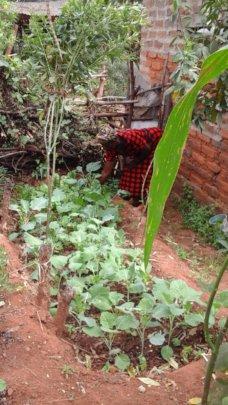 DNRC farmer tending her kitchen gardens with kales