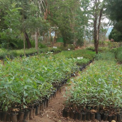DNRC tree nursery with fruit tree seedlings