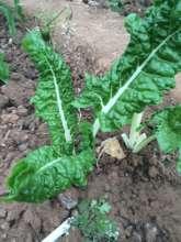Leafy Nutritious Greens!