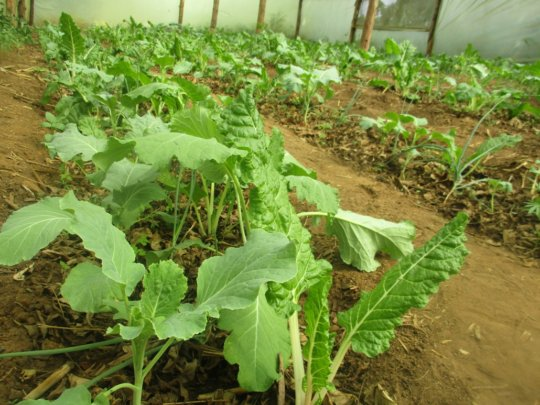 gardens with leafy vegetables