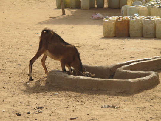 Thirsty little goat