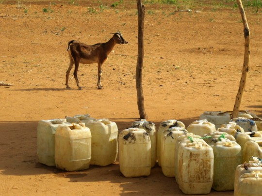Goat with jerry cans