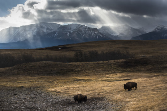 Bison grazing in Waterton Lakes National Park