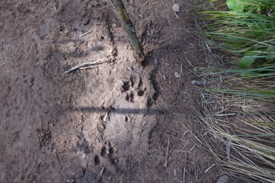 A wolf track spotted in the mud