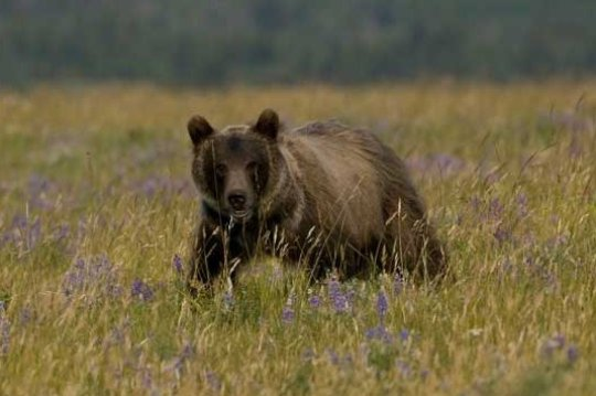 A young grizzly in Waterton Lakes National Park