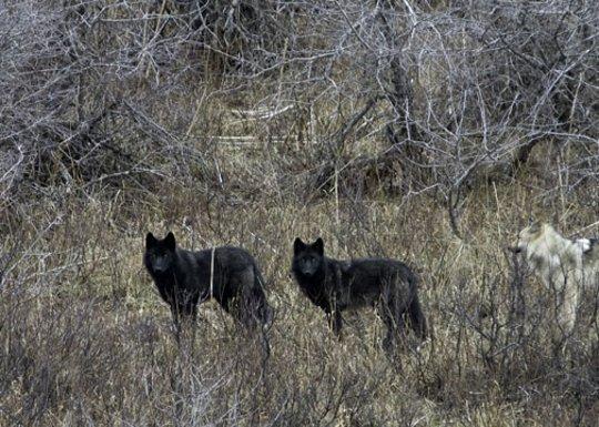 Wolves in Waterton Lakes