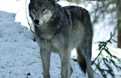 Tracking Wolves in Canada With Earthwatch