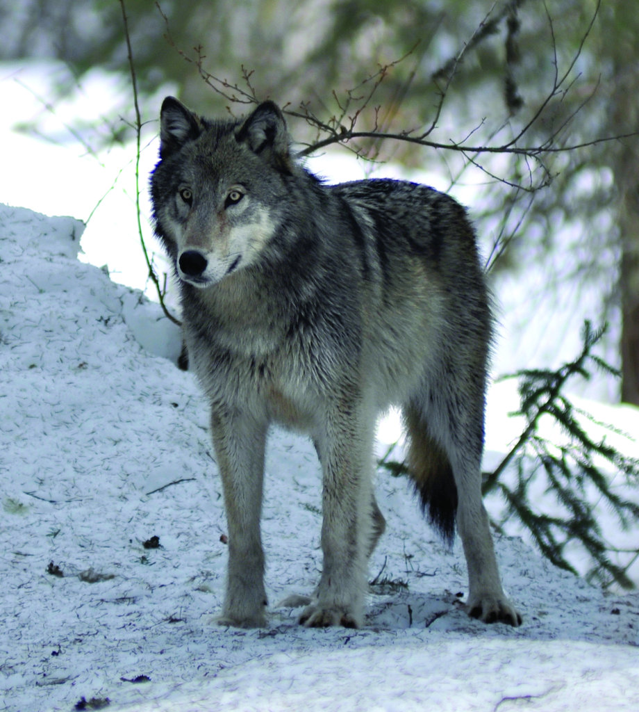 Restoring Fire, Wolves, and Elk in the Rockies
