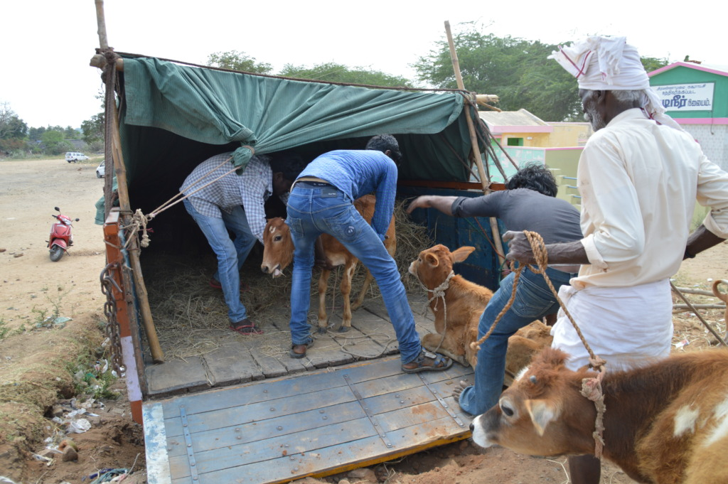 Loading ten rescued calves into a lorry.