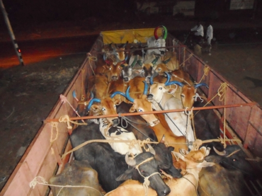 Cattle rescue. Lorry intercepted. Cattle impounded