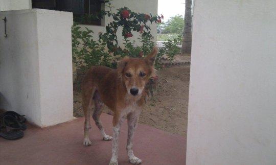 Shirdi-After 3 months treatment. Yep! Same dog.