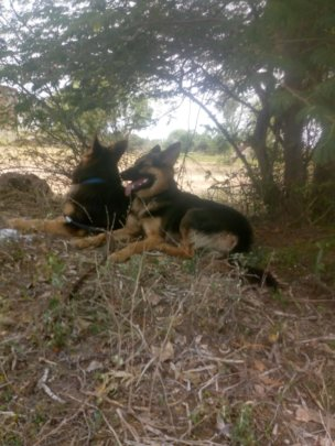 This is Eethera's German Shepherds, Leo and Lady.