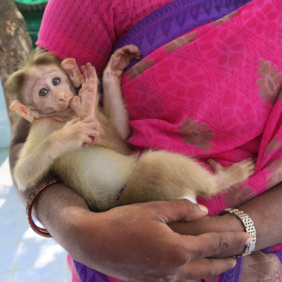 Sugana's the Mom for all the infant monkeys.