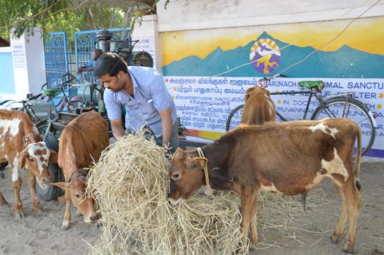 Supervisor Raja feeding hungry rescued calves.